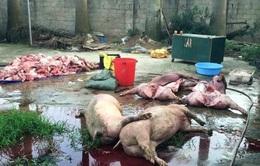 Quảng Ninh phát hiện 2 cơ sở mổ lợn chết để tiêu thụ