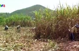 Nông dân trồng mía lỗ nặng vốn đầu tư do nắng hạn