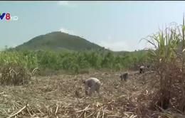 Nông dân trồng mía lỗ nặng do nắng hạn
