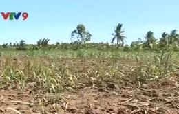 Hàng trăm ha mía mới trồng chết bất thường tại Sóc Trăng