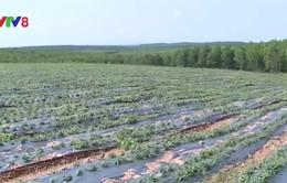 Quảng Trị phát triển mô hình cây trồng chịu hạn hiệu quả
