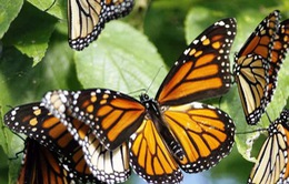 Tuyệt đẹp Khu dự trữ sinh quyển bướm Monarch, Mexico