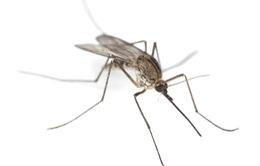 Muỗi là trợ thủ giúp cảnh sát phá án