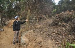 Khởi tố vụ phá rừng Sơn Trà