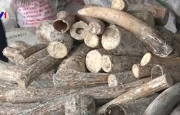 Thu giữ gần 550 kg ngà voi