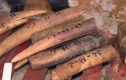 TP.HCM: Bắt giữ thêm một vụ buôn lậu hơn 500kg ngà voi