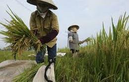Ngành lúa gạo chi 7.000 tỷ đồng tái cơ cấu