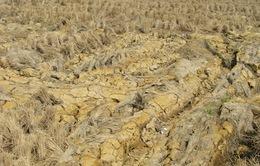 Kiên Giang: Nhiều bất cập trong việc hỗ trợ nông dân vùng hạn mặn