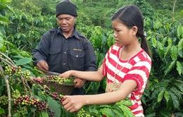 Sản lượng cà phê Tây Nguyên sụt giảm do hạn hán kéo dài