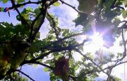 Con đường từ cây nho đến rượu vang Ninh Thuận
