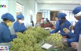 Giá nho sản xuất theo tiêu chuẩn VietGAP tăng mạnh