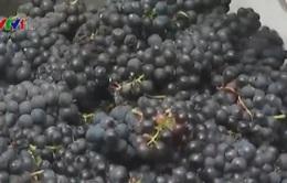 Ngành sản xuất rượu vang Nam Phi đóng góp 2% vào GDP