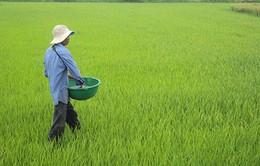 Dùng xi măng làm phân bón lúa: Lợi bất cập hại