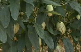 Lâm Đồng đẩy mạnh trồng nông sản mới
