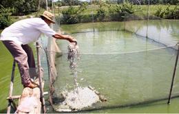 Giá cá tra tăng, có nên mở rộng diện tích nuôi?