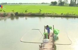 Sau tôm, lại xảy ra tranh chấp cá lóc - cây lúa ở Đồng Tháp