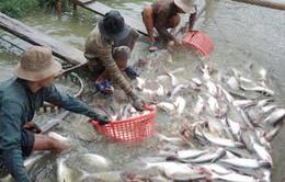 """Giá giảm mạnh, nông dân nuôi cá tra """"tiến thoái lưỡng nan"""""""
