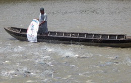 Giảm chi phí nhờ nuôi cá tra theo chuẩn VietGAP