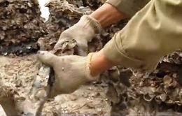 Nuôi hàu trên lốp cao su không gây hại