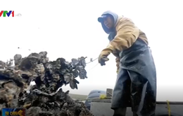 Những chiếc bồn cầu bỏ đi được dùng làm nơi nuôi hàu tại New York