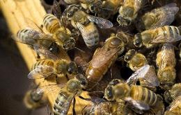 Trung tâm thụ tinh nhân tạo ong đầu tiên tại Lebanon
