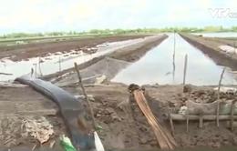Khi con tôm giết chết cây lúa ở Kiên Giang