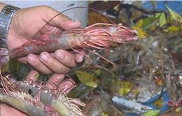 Hiệu quả mô hình nuôi tôm sinh thái tại Cà Mau