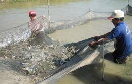 Tìm giải pháp phát triển nuôi tôm nước lợ