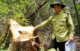 Phát hiện vụ phá rừng thông ở Đăk Nông