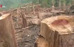 """Mất rừng vì... lâm tặc """"nhờn"""" luật"""