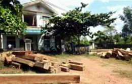 Quảng Trị: Ngang nhiên tàn phá rừng phòng hộ Vĩnh Linh