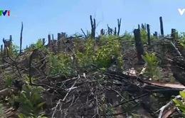 Quảng Trị: Rừng phòng hộ liên tục bị lấn chiếm và tàn phá