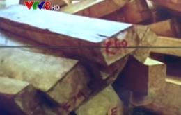 Hoàn thiện hồ sơ khởi tố vụ khai thác gỗ pơ mu lớn tại Quảng Nam