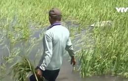 Mưa lớn, hàng trăm ha lúa tại Phú Yên, Bình Định bị đổ ngã