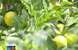 Trái cây có múi sốt giá, nhà vườn cần tỉnh táo