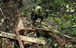 Khởi tố vụ phá rừng pơmu ở Quảng Nam