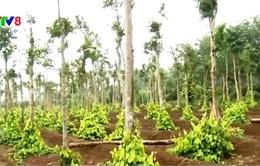 Quảng Trị tìm hướng quy hoạch lại cây cao su