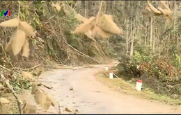 Sơn La: Gần 5000ha rừng đặc dụng gãy đổ do băng tuyết