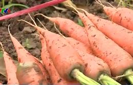 Chuyển đất lúa vùng hạn mặn sang trồng rau màu