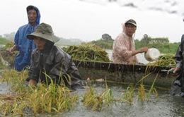 Hàng nghìn hecta lúa, hoa màu tại nhiều địa phương bị ngập úng sau bão số 1