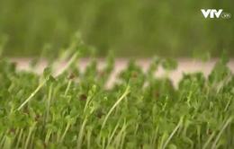 Tự trồng rau mầm tại nhà có thực sự an toàn?