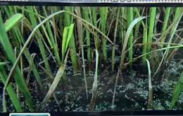Hàng chục nghìn ha lúa Hè Thu bị rầy nâu tấn công tại Bạc Liêu