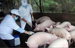 Cận cảnh mô hình sản xuất chuỗi thịt lợn sạch ở Vĩnh Phúc