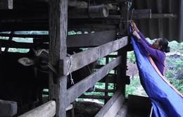 Hà Giang chủ động phòng chống rét cho đàn gia súc