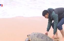Huế: Thả rùa biển quý hiếm về tự nhiên