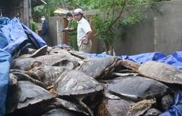 Khánh Hòa khởi tố bị can tàng trữ hàng tấn rùa biển