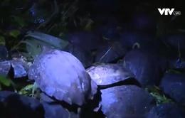 Hà Tĩnh: Thả 55 cá thể rùa về tự nhiên