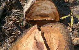 Phú Yên: Khởi tố bị can phá rừng