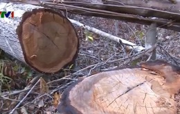 Kiểm tra 4 cán bộ huyện có dấu hiệu vi phạm trong vụ phá rừng ở Phú Yên