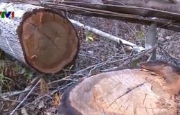 Phú Yên họp khẩn về vụ hơn 100ha rừng bị chặt phá